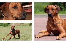 Порода собак родезійський риджбек: історія та характеристика!