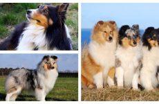 Порода собак шелті не звичайні умови утримання.