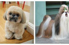 Порода собак Ши тцу: характеристика та правила догляду