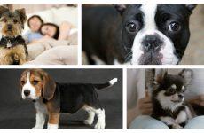 Породи собак підходять найкращі для квартири