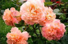 Роза Серпня Луїза — опис, особливості вирощування