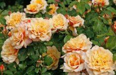 Роза Карамелла — опис, особливості, правила вирощування