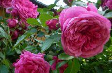 Роза Лагуна — опис, характеристики, особливості догляду