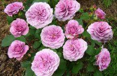 Роза Лавендер Айс — опис, характеристики, вирощування