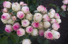 Роза Мімі Еден — опис, висадка та догляд за рослиною