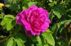 Троянда зморшкувата — опис, особливості, розмноження