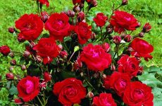 Роза Ніна Вейбул — характеристика, посадка й догляд, підготовка до зими