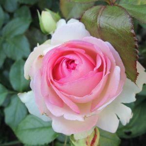 Роза П'єр де Ронсар — опис і характеристики, правила догляду