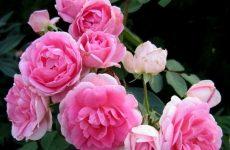Роза Прейрі Джой — опис, правила вирощування