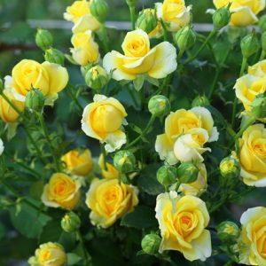 Роза спрей — кращі сорти, особливості догляду та розмноження квітів