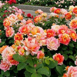 Троянди шраби що це таке, кращі сорти, секрети догляду