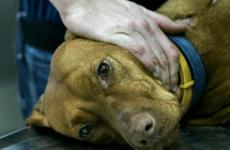 Сальмонельоз у собак: симптоми і лікування, способи прояву