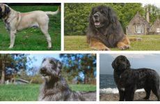 Найбільші в світі собаки: цікаві факти про них