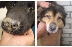 Симптоми і лікування чумки собак: Як вилікувати одного?