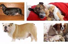 Симптоми і лікування помилкової вагітності у собак та їх причини