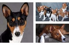 Собака басенджи опис породи: догляд та характеристика