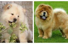 Собака чау чау – характер і історія цих чарівних порід