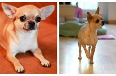 Собака компаньйон чіхуа хуа – головні параметри і характеристика