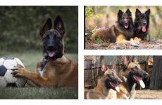 Собака породи бельгійська вівчарка: утримання, виховання, догляд.