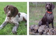 Собака породи курцхаар: зовнішній вигляд і характеристика