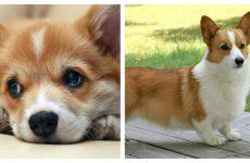 Собака породи вельш коргі: рекомендації і характер
