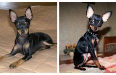 Собака російський той тер'єр – маленька радість у домі