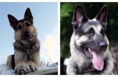 Утримання та дресирування східно-європейської вівчарки, догляд за собакою.
