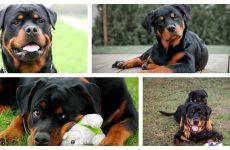 Стандарт породи собаки ротвейлер: виховання та догляд