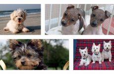 Чи існують гіпоалергенні собаки: результати досліджень