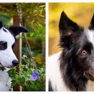 Сверхумная собака бордер коллі: Зовнішній вигляд і характер.