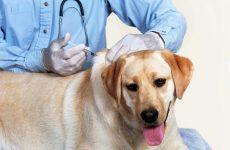 Протягом і профілактичні заходи щодо запобігання циститу у собак