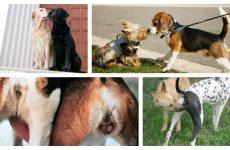 Тічка у собак як проходить і яка тривалість