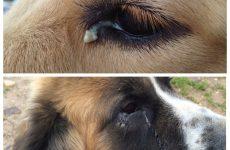У собаки гнояться очі: причини, лікування, профілактика.