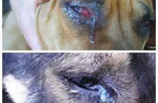 У собаки сльозяться очі – як лікувати