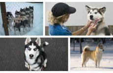 Догляд та утримання за породою собаки лайки що потрібно знати