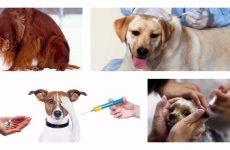 Укол собаці: як можна зробити не нашкодивши вихованцеві?