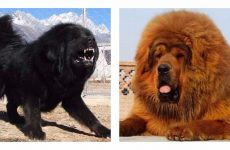 Унікальна порода собак тибетський мастиф: характеристика!