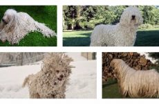 Угорський командор – собака з типовим характером і незвичайною зовнішністю