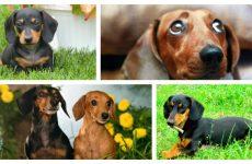 Весела і вірна собака такса: рекомендації і характер