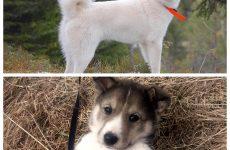 Східно-сибірська лайка – особливості незвичайної породи