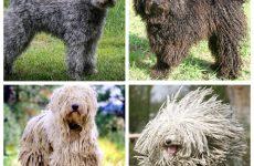 Все про собак породи кулі: особливості цього виду і їх характер.