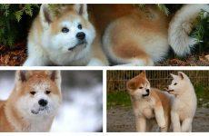 Японка акіта іну дуже розумна і красива порода чотириногих друзів