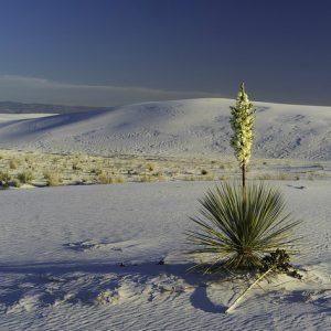 Юка: опис, умови вирощування та розмноження
