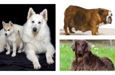 Турботи господаря: скільки триває вагітність у собак?