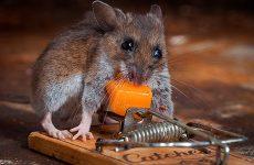 Приманка для мишей в мишоловку: ТОП 7 ефективних приманок