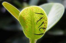 Трипси на кімнатних рослинах: як боротися, народні засоби, препарати