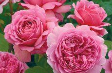 Роза принцеса Олександра оф кент — опис, посадка, догляд