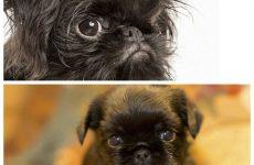 Грифон собака – особливості догляду і утримання