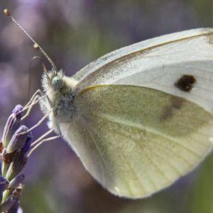 Метелик капустянка: як позбутися в городі, як виглядає, фото приклади