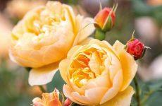 Англійські троянди — історія, характеристика, сорти, догляд і посадка